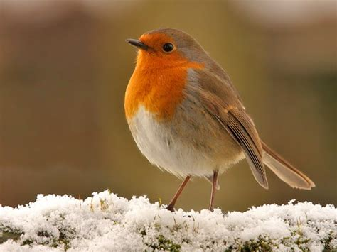 john clare weblog the robin