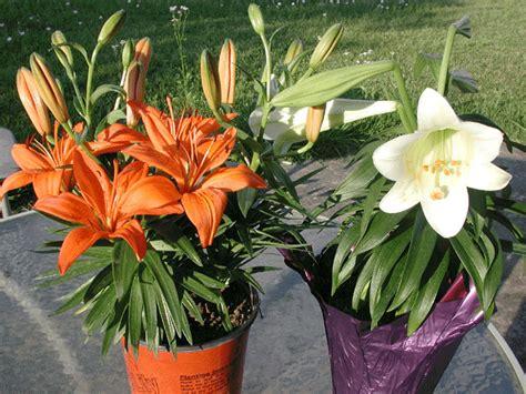 plants care basic lily plants care