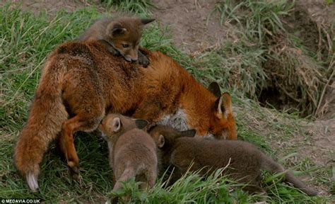 Fantastic foxes: mother and her cubs venture out of their