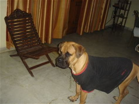 pug puppies for free adoption in bangalore mastiff puppies for sale in bangalore breeds picture