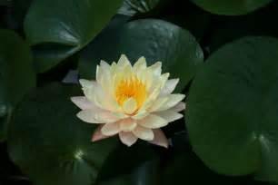 Lotus Water Ren 233 O Deay 187 Gardens