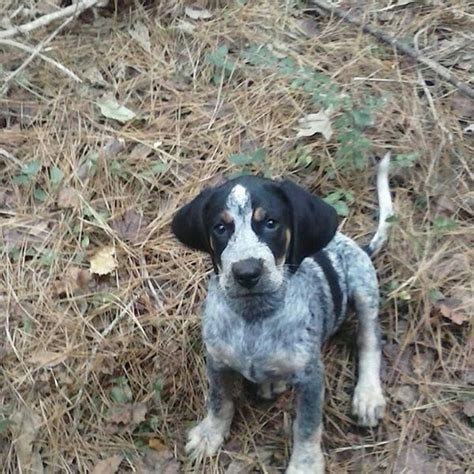 bluetick puppy bluetick puppy blueticks