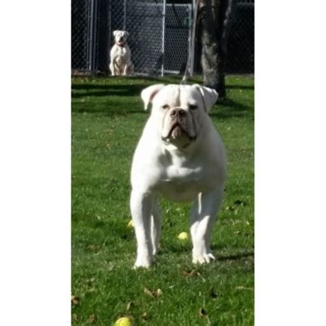 pugs for sale rochester ny american bulldog puppies and dogs for sale and adoption in new york freedoglistings