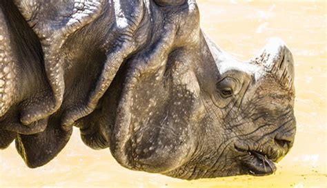 amazing facts  javan rhinos onekindplanet animal