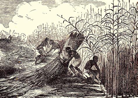 file suikerriet jpg wikimedia commons