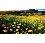 HD Hintergrundbilder Fr&252hling Bl&252te Gelbe Blumen H&252gel