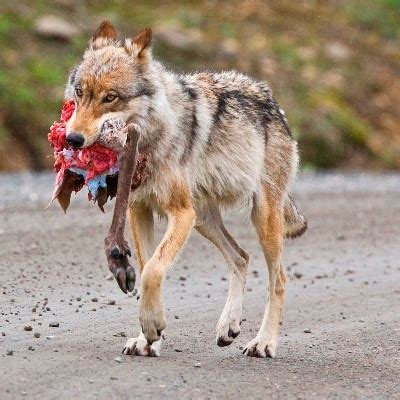 1406378178 white rabbit red wolf file denali wolf with caribou hindquarter 2 jpg