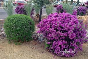 Purple Flowering Bushes Shrubs - southwest plant profile texas sage ramblings from a desert garden