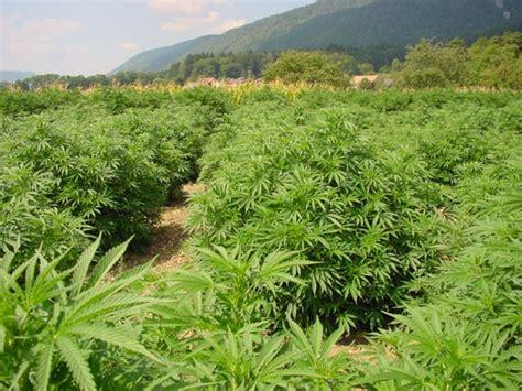 canapé ras du sol conseil de culture de cannabis paradise seeds