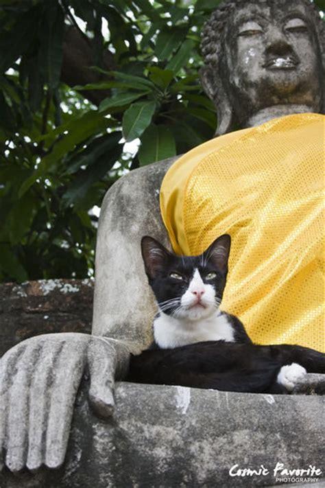 cat  buddha photo