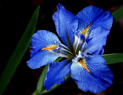 la blue blue louisiana iris when the blue iris starts blooming