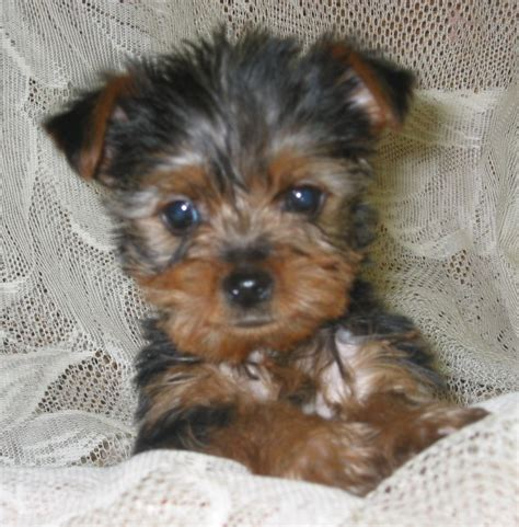 a baby yorkie baby yorkie puppiesbaby yorkies pets for upets u xmtmgefa jpg images of puppies