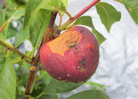 deal  thrips  stone fruit root simple