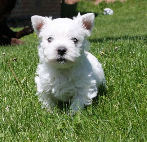 westie puppies for adoption west highland terrier for adoption uk breeds picture