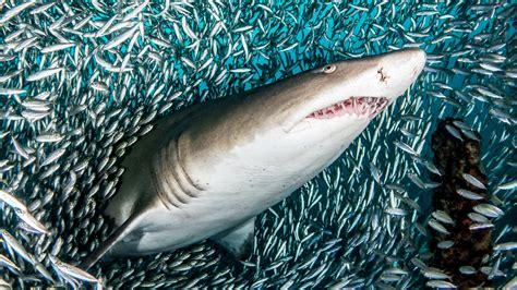 imagenes sorprendentes tiburones naturaleza vibrante las sorprendentes fotograf 237 as de