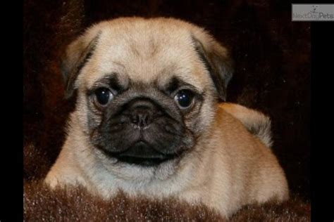 pug puppies for sale in wv pug puppy for sale near eastern panhandle west virginia 422fcb4e da31