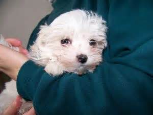 puppies for sale in utica ny maltese puppies for sale