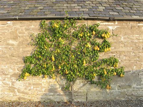 Pear Wall