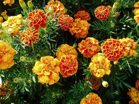 Orange Garden Flowers Top Orange Annual Flowers For Your Garden Hgtv