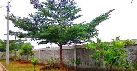 Lu Taman Unik tanaman hias jual pohon ketapang kencana di bekasi