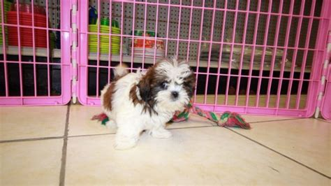 malti tzu puppies for sale adorable malti tzu puppies for sale in atlanta ga mix of maltese and shih tzu