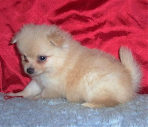pomeranian breeders in kansas breeder small akc puppies for sale in kansas