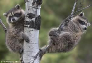 raccoons climb up 150 foot seattle crane and halt
