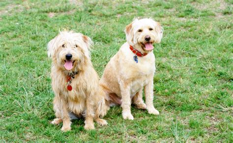 Do Labradoodle Puppies Shed by Labradoodle Burke S Backyard