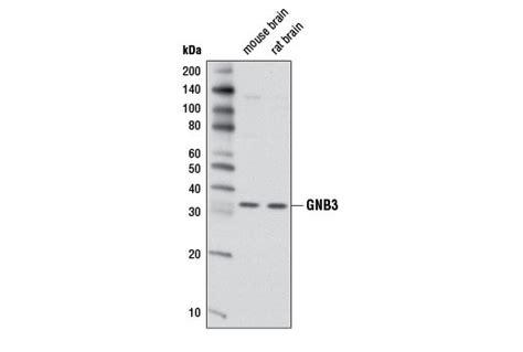 Blot Then Re Apply by Gnb3 Antibody 3719