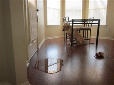 hond plast in huis na uitlaten mijn volwassen hond plast in huis hondenwoordenboek