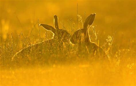 wallpaper hp rusak wallpaper hare grass nature field hare pair images