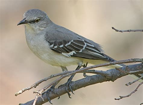 State Birds | texas state bird mockingbird