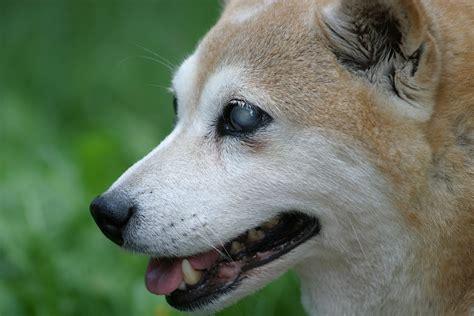 Dogs And Blindness Free Photo Shiba Inu Dog Blind Smile Free Image On