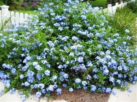 blue flowering shrub planted 2 shrubs of plumbago last year hoping one day