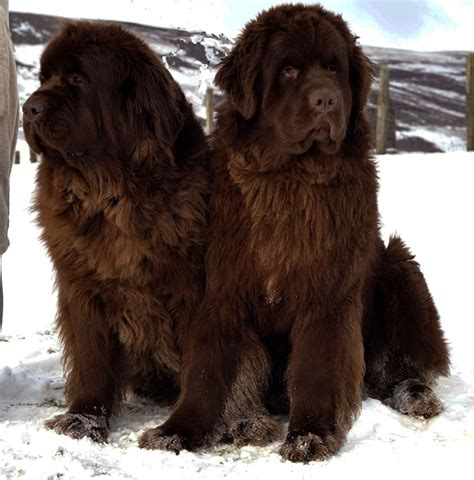 newfie puppies newfoundland dogs