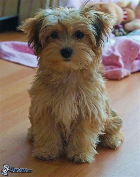 buy havanese puppies uk best 25 havanese puppies ideas on breeds pictures havanese and