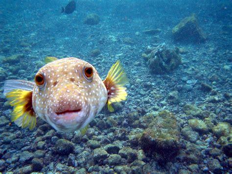 puffer fish  life  animals