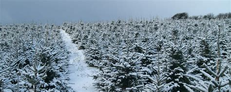 gower christmas trees grown in wales