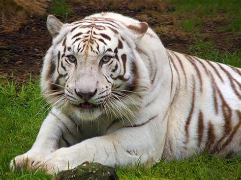 White Tiger L by White Tiger