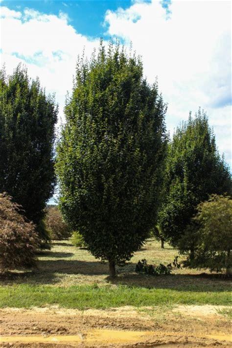 european trees pyramidal european hornbeam halka nurseries