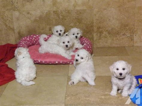 bichon frise puppies florida bichon frise puppies ready to go home sm fm for sale in clermont florida