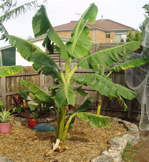 Tempat Jual Bibit Pisang Cavendish pisang cavendish gudang bibit gudang bibit