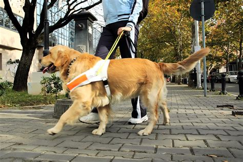 dogs walkthrough a brief history of guide dogs the best by dogpacer