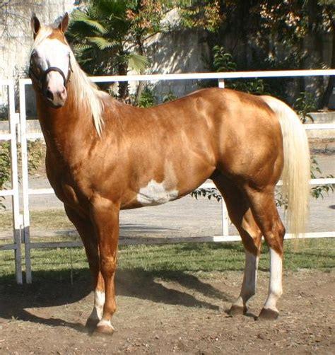 caballos sementales cuarto milla sementales pintos caballos cuarto de milla conformacion y