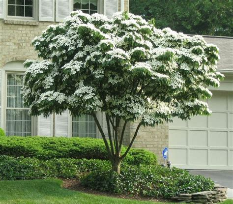 best patio trees japanese white flowering dogwood cornus kousa the patio tree attractive white flowers
