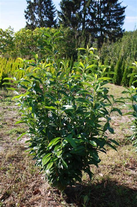 Kirschlorbeer Rotundifolia Kaufen 2043 by Kirschlorbeer Kaufen Pflanzenhof Moosheide Baumschule