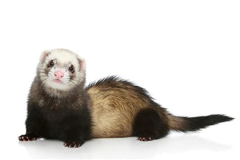 how can a live with distemper ferret distemper a m veterinary medicine biomedical sciences