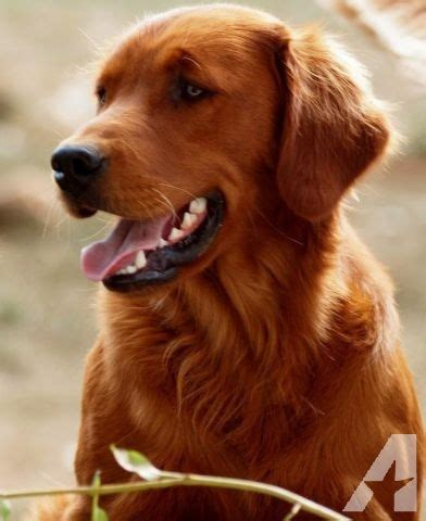 golden retriever for sale washington amazing blockheadred golden retriever puppies for sale in boistfort washington