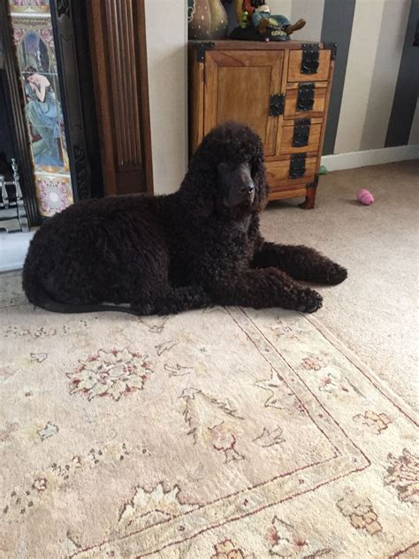 water spaniel puppies for sale water spaniel puppies holmfirth west pets4homes