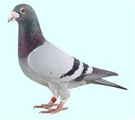 r 234 ver de pigeon en islam